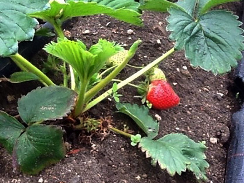 Coleshill Organics strawberry plant